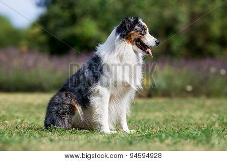 Adult Border Collie Dog