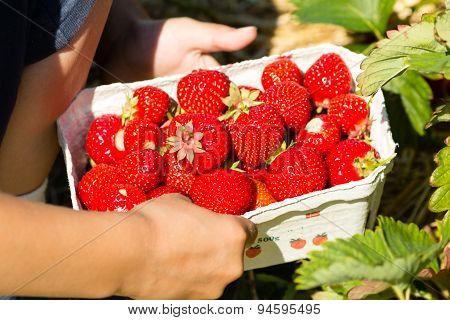 Box Full Of Strawberries