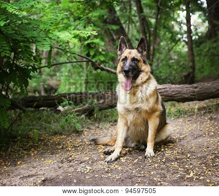 a german shepherd dog out in nature looking at a ball to be thrown