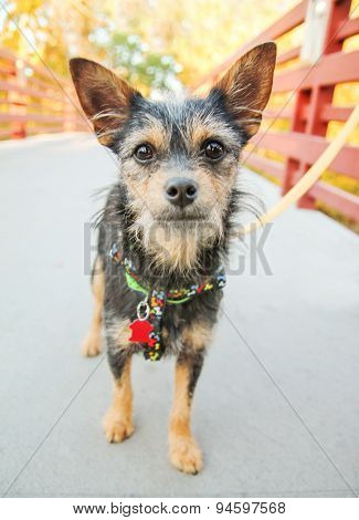 acute terrier standing on a bridge with a leash