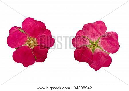 Pressed And Dried Flower Wild Rose. Isolated On White Background.