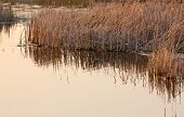 picture of australie  - Detail of dried Common reeds in warm sunlight covered water edge - JPG