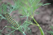 pic of green caterpillar  - green caterpillar with yellow spots on the back