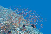 picture of shoal fish  - colorful coral reef with shoal of exotic fishes Anthias at the bottom of tropical sea