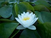 picture of water lily  - A water lily blooming on the water  - JPG