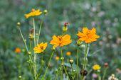 stock photo of marigold  - Marigold  flowers field in summer garden Thailand - JPG