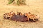 stock photo of hyenas  - Hyenas eating prey leftovers in Masai Mara - JPG