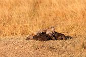 pic of hyenas  - Babies spotted hyena cubs just come out from their hole early in the morning sleeping on over another Masai Mara - JPG