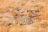 image of cheetah  - Two cheetahs lying in grass having a rest after eating in Masai Mara Kenya - JPG