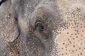 foto of indian elephant  - The head of the Indian elephant close - JPG