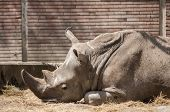 stock photo of zoo  - Black rhinoceros lying in zoo area closeup - JPG