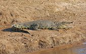stock photo of crocodile  - sunny riparian scenery with crocodile in Botswana Africa - JPG