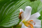 foto of enzyme  - Little snail crawling on a white lily covered with dew - JPG