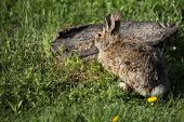 picture of wild-rabbit  - A wild brown rabbit and a red wing blackbird feed on seed left by birds - JPG