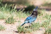 picture of blue jay  - close up of a steller - JPG