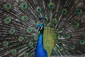 stock photo of blue animal  - Indian peafowl  - JPG