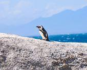 stock photo of jackass  - Jackass Penguin on Boulders Beach Nature Reserve near Cape Town Western Cape South Africa - JPG
