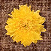 picture of chrysanthemum  - fresh autumn yellow chrysanthemum on canvas background - JPG