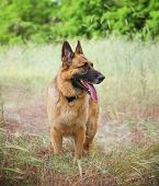 stock photo of herding dog  -  a german shepherd dog out in nature looking at a ball to be thrown  - JPG