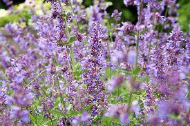 image of catnip  - Catnip flowers  - JPG