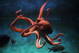 picture of zoo  - Common octopus  - JPG