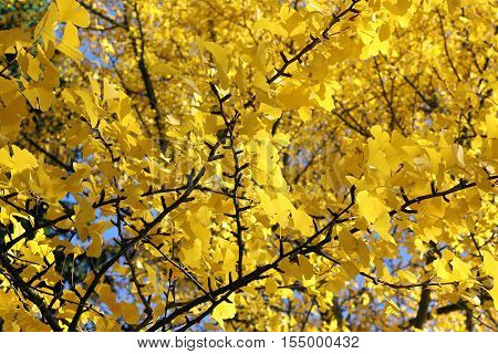 Ginkgo tree in autumn with yellow leaves