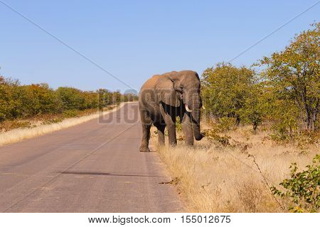 Elephant From Kruger National Park, Loxodonta Africana