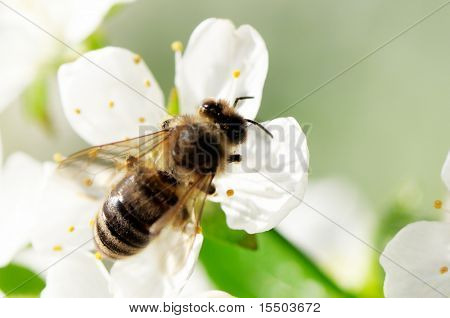 bee collects flower nectar