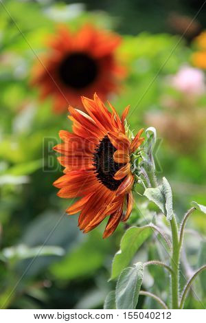 Big, bright faces of pretty sunflowers, open to warmth of late Summer.