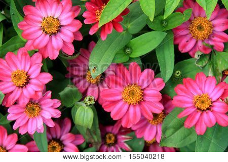 Background of bright pink flowers with lush, healthy, green leaves in landscaped garden.
