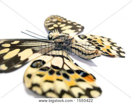 Butterfly (Spot Swordtail) Closeup