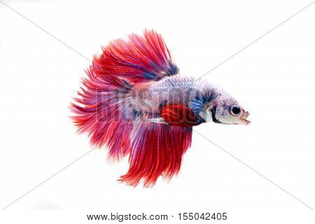 Red And White Tail Siamese Fighting Fish Half Moon , Betta Fish Isolated On White
