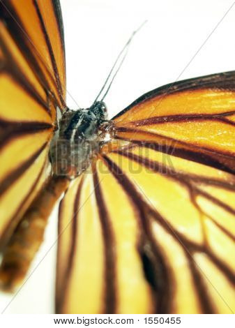 Butterfly (Monarch) Closeup