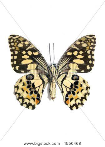 Butterfly (Spot Swordtail)