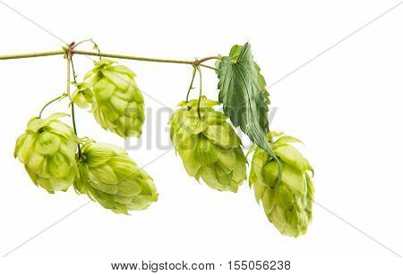 agriculture, green, ferment hop isolated on white