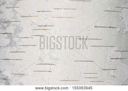 birch bark texture natural background paper close-up / birch tree wood texture / birch tree bark / pattern of birch bark / birch bark closeup / natural birch bark background / birch bark