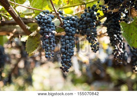 grapes growing on the vine country agriculture