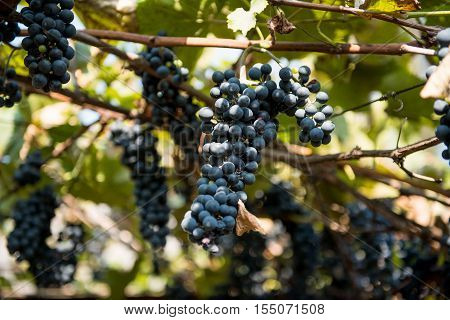 grapes growing on the vine  organic, farmyard
