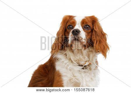 King Charles Spaniel (English Toy Spaniel) - small dog breed of the spaniel type. White background.
