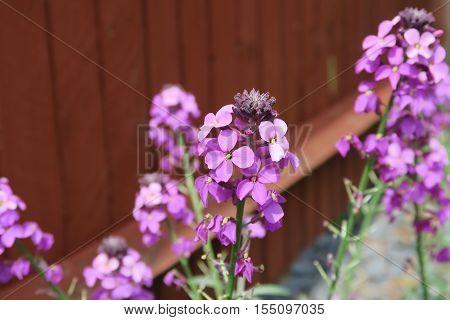 The beautiful purple flower Erysimum Bowles Mauve