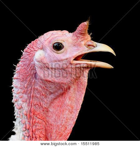 Turkey hen on a black background