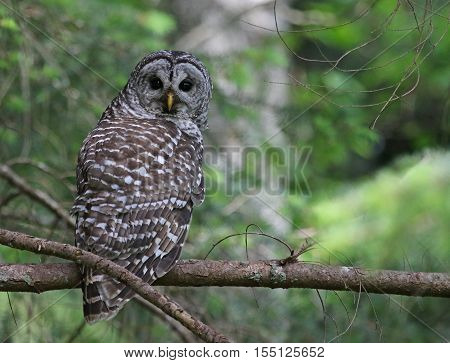A Barred Owl (Strix varia) looking back while perched on a branch. Shot on Gabriola Island British Columbia Canada.