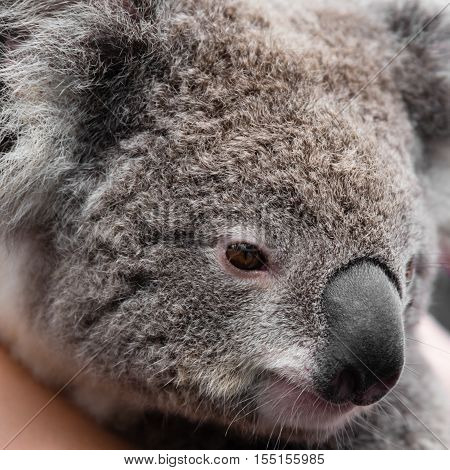 Close-up On Australian Koala Bear Native Animal