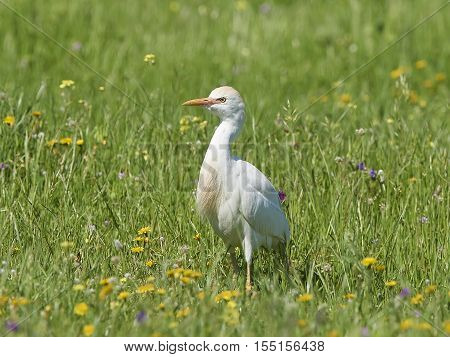Cattle egret (Bubulcus ibis) standing in grass in its natural habitat