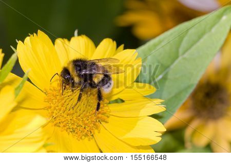 Bumblebee pollination on yellow flower. Close up shot