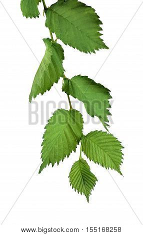 Branche with leaves of elm. / Isolated on white background without shadow. / Nature in detail. Summer. Spring. Close-up.(Ulmus Laevis)