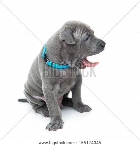 One month old thai ridgeback puppy in blue collar sitting and yawning. Isolated on white. Copy space.