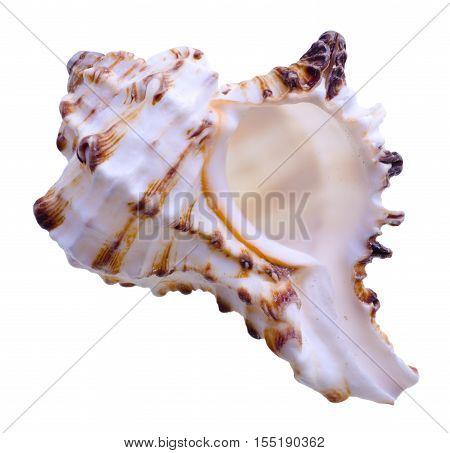 Big sea shell isolated on white background
