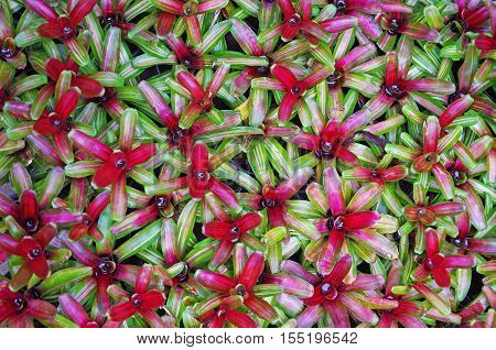 Top view of the group of bromeliad decoration plant in garden
