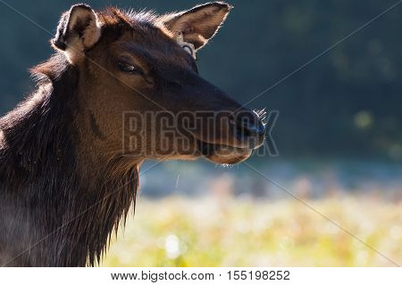 The Stink Eye by a female elk profile